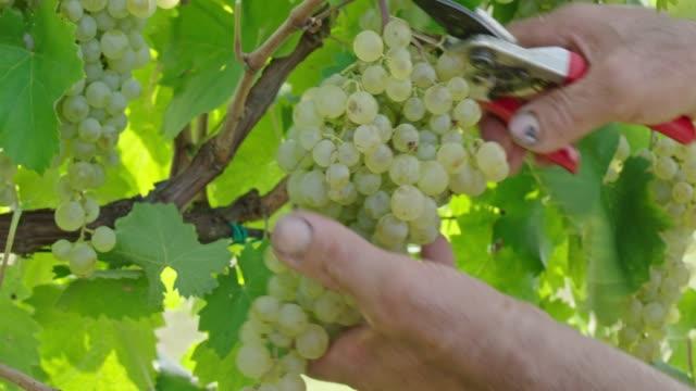 grappolo d'uva - bonde jordbruksyrke bildbanksvideor och videomaterial från bakom kulisserna