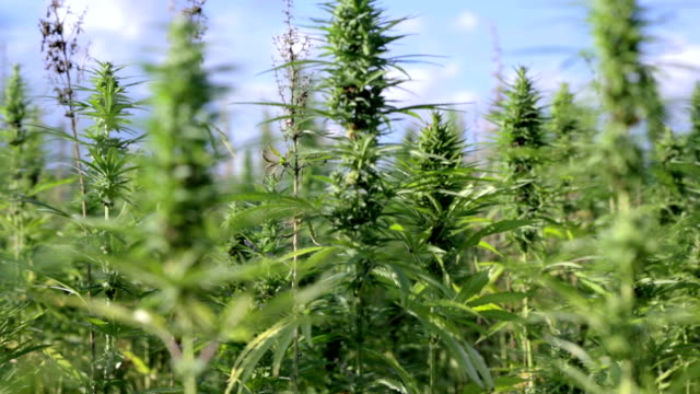HD: Bunch of industrial cannabis plants moving in wind HD1920x1080: High quality produced HD Stock Footage Clip of Industrial cannabis field and single hemp plants shots  from different angles while shaking in the wind on a sunny day near the roadside. hashish stock videos & royalty-free footage