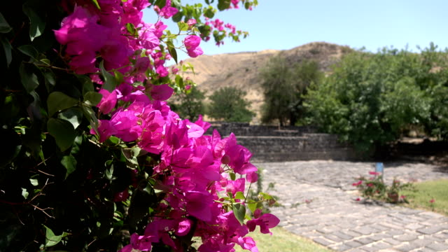Bunch of Pink Blossoms Blowing in Wind in Israel video