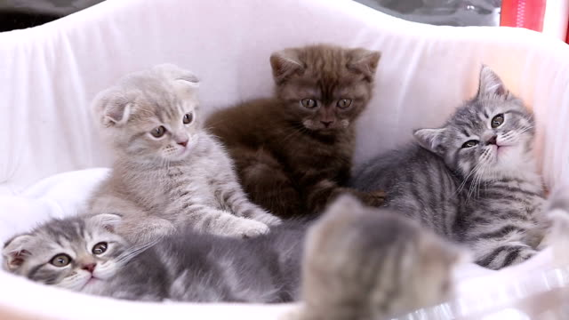 Bunch of purebred lop-eared kittens sitting in basket and playing, pet show
