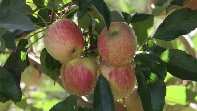 Bunch of red apples growing on a fruit tree video