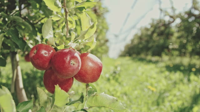 DS Bunch of red apples hanging on a tree Dolly medium shot bunch of red apples hanging on a tree in the orchard. Shoot in 8K resolution. apple fruit stock videos & royalty-free footage