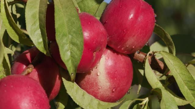 wiele czerwony nektaryny się na drzewo owocowe - brzoskwinia drzewo owocowe filmów i materiałów b-roll