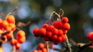 istock Bunch of red rowan. 4K. 1213769451