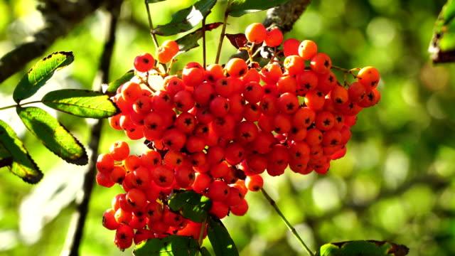 Bunch of rowan berries close-up. video