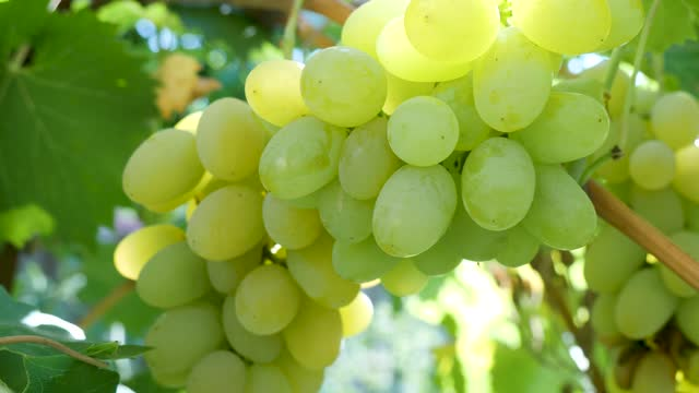 Bunch of White Grapes Bunch of white grapes. Picking white grapes on the vineyard during vine harvest on lovely sunny, autumn day bunch stock videos & royalty-free footage