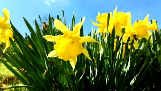 stockvideo's en b-roll-footage met stelletje gele narcissen bloemen of narcissus - fresh start yellow