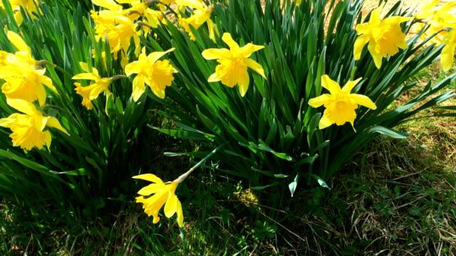 stockvideo's en b-roll-footage met stelletje gele narcissen bloemen of narcissus. - fresh start yellow