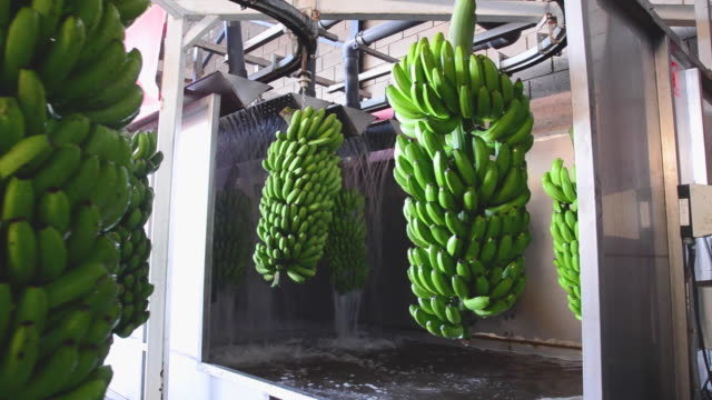 stockvideo's en b-roll-footage met trossen banaan opknoping in een wasmachine in de verpakking van levensmiddelen industrie. - tropisch fruit