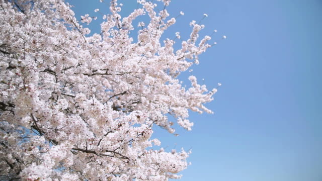 Bunches of cherry blossom. video