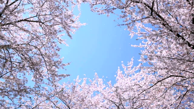 bunches of cherry blossom. - cherry blossom stock videos and b-roll footage