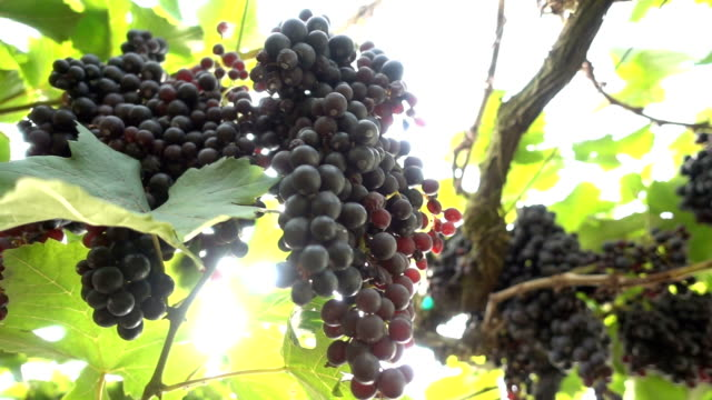 Bunches of Grapes Hanging in Vineyard,Slow motion video