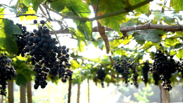 bunches of purple grapes hanging in vineyard slow motion - azienda vinicola video stock e b–roll