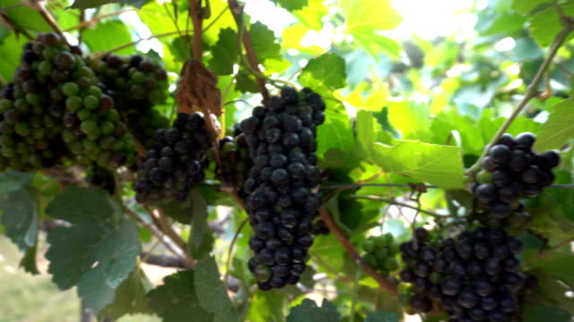 Bunches of red fresh grapes hanging in vineyard with sun light.