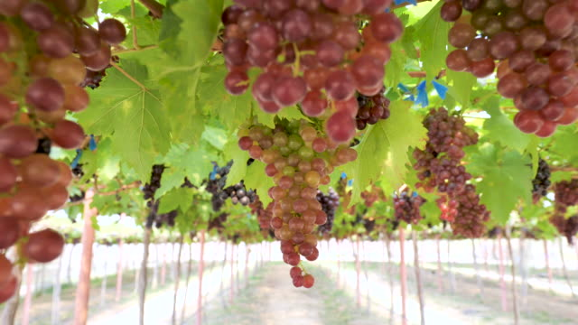 Bunches of red grapes hanging on a vine.