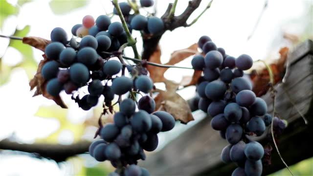 vídeos de stock e filmes b-roll de molhos de maduro e secagem orgânicos preto vinho de uvas na vinha ramo de outono outono colheita. close-up macro - uva shiraz