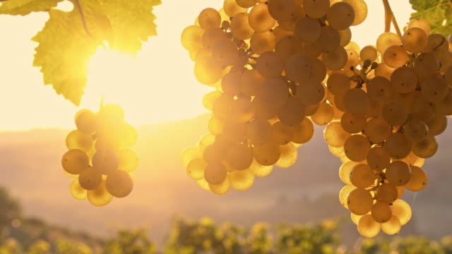 DS Bunches of white grapes at sunrise Two dolly shots of bunches of white grapes hanging off the vine. Shot was taken in the sunrise. Prekmurje. Slovenia. Also available in 4K resolution. bunch stock videos & royalty-free footage