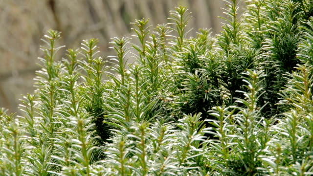 Bunches of yew on twigs move in wind Bunches of yew on twigs move in wind bush stock videos & royalty-free footage