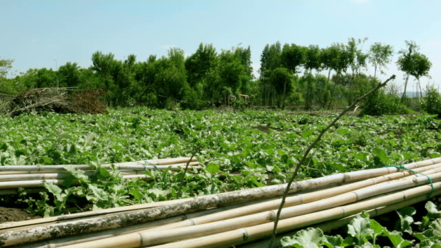 Bundles of bamboo poles in the field video