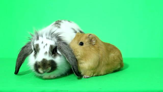 tavşan ve kobay - tavşan hayvan stok videoları ve detay görüntü çekimi