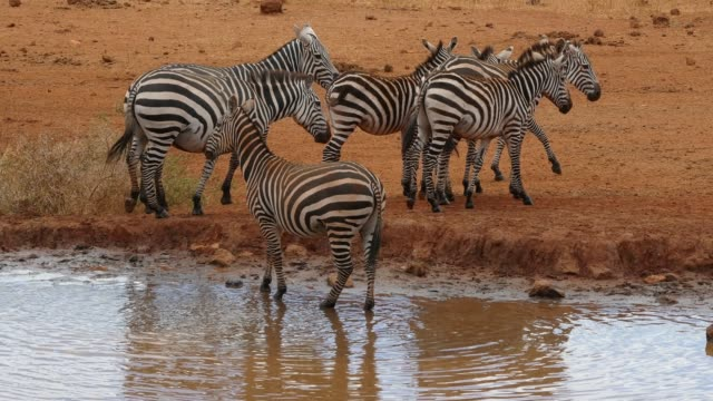 burchell's zebra, equus burchelli, herd drinking at the water hole, tsavo park in kenya, real time 4k - equino video stock e b–roll