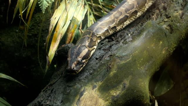 移動ビルマのニシキヘビ - ヘビ点の映像素材/bロール