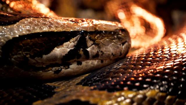 vídeos y material grabado en eventos de stock de pitón birmano - serpiente