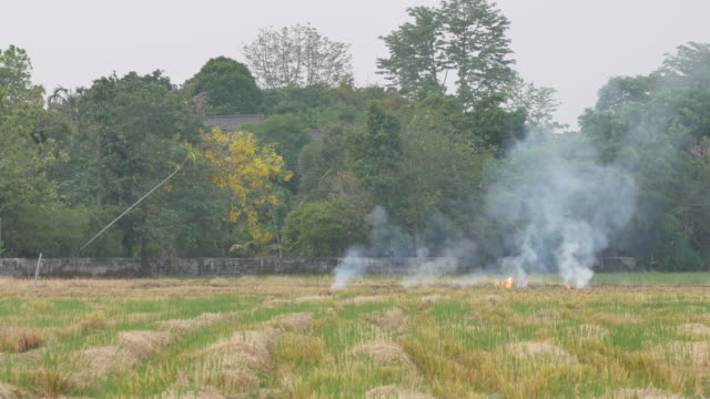burning in the paddyfield video