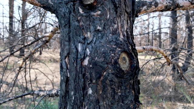 verbrannten nadelbaum nach einem brand, kamerabewegung entlang des stammes - kiefernwäldchen stock-videos und b-roll-filmmaterial