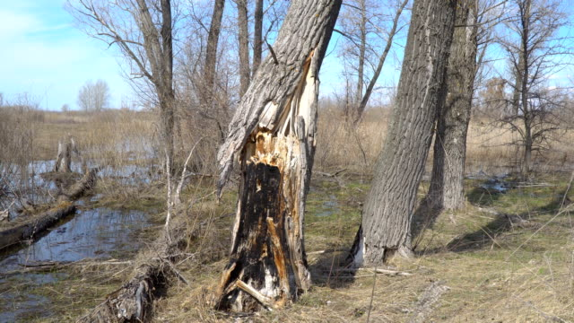 Burnt dry tree trunk video