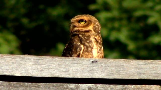 burrowing owl (athene cunicularia) auf dem dach. - dachgarten videos stock-videos und b-roll-filmmaterial