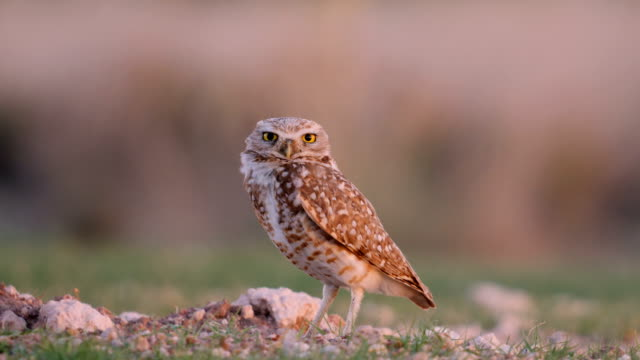 vídeos de stock e filmes b-roll de burrowing owl setting on its nest - prontidão