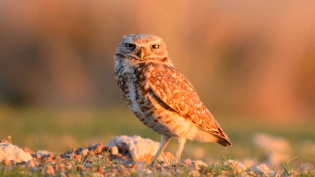 Burrowing owl setting on its nest Burrowing owl setting on its nest bird of prey stock videos & royalty-free footage