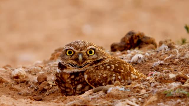 洞穴貓頭鷹設置在它的巢 - 野生動物 個影片檔及 b 捲影像