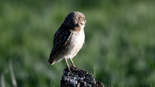 Burrowing Owl an Owl uses a fence post to catch meals from near Three Forks, Montana bird of prey stock videos & royalty-free footage