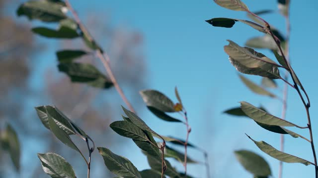 bush branches with small leaves sway in strong autumn wind