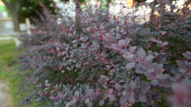 bush of berberis in the summer garden. branches and leaves moving in the wind - pistillo video stock e b–roll