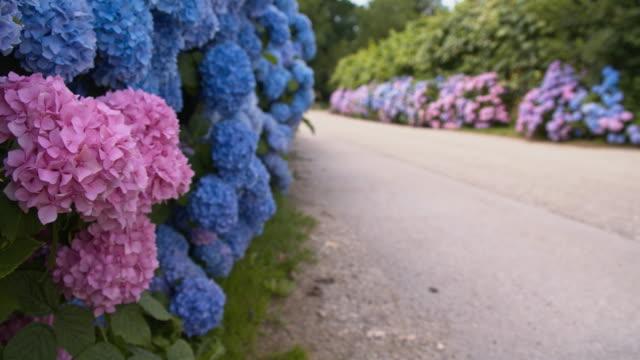 r/f bush von hortensien blumen - hortensie stock-videos und b-roll-filmmaterial