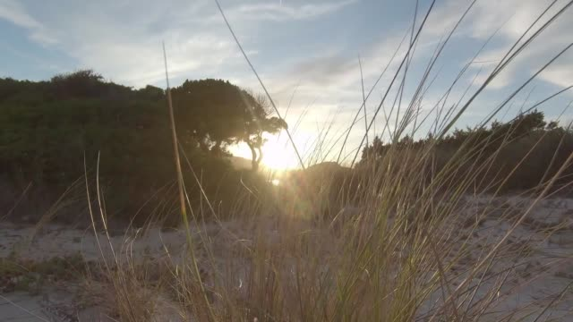 A bush of marram grass (Ammophila arenaria) moved by the wind on the dunes of the beach at sunset in backlight shooting in flat color profile