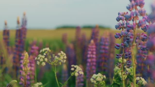busch der wilden blumen lupine in sommer feld wiese. lupinus, allgemein bekannt als lupin oder lupine, ist eine gattung der blühenden pflanzen in der legume familie, fabaceae - lupine stock-videos und b-roll-filmmaterial