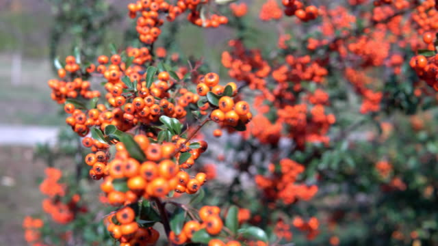 Bush With Orange Berries