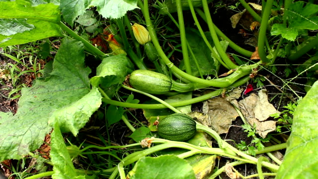 Bush with vegetable marrows. video