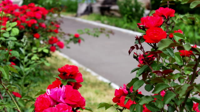 bushes of beautiful flowering roses in summer park - куст стоковые видео и кадры b-roll