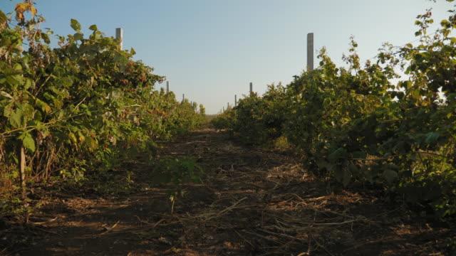 vídeos y material grabado en eventos de stock de bushes de frambuesas remont en otoño - frambuesa
