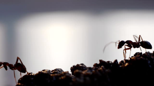 Busy ants. video