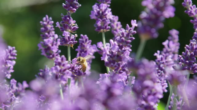 DOF, MACRO, CLOSE UP Busy bee comes into focus in fragrant purple lavender bush video