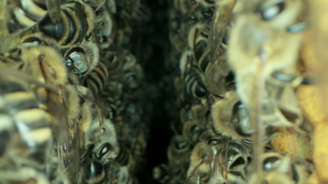 busy bees inside the hive with open and sealed cells for sweet honey - apicoltura video stock e b–roll