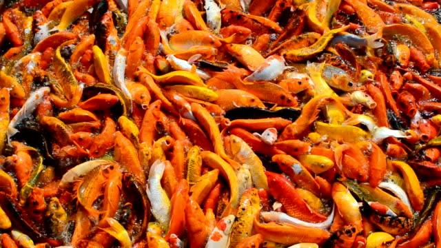 stockvideo's en b-roll-footage met drukke vol hongerige kleurrijke koi vis of fancy karper koppel voor voedsel op vijver water - carp
