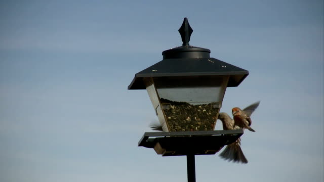 HD: Busy House Finches
