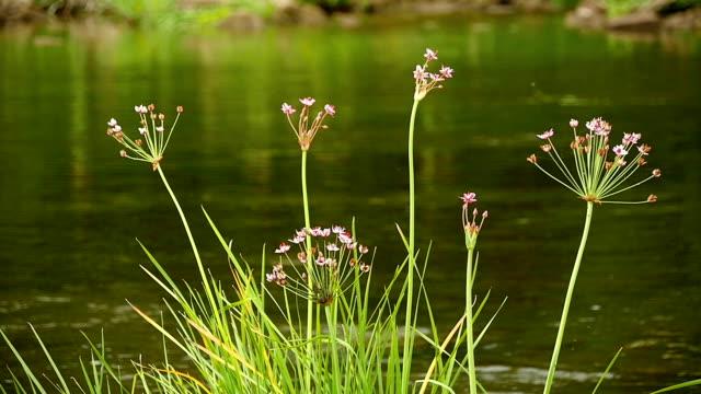 butomus umbellatus flowers in summer day - pistillo video stock e b–roll